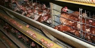 poules-elevage-industriel
