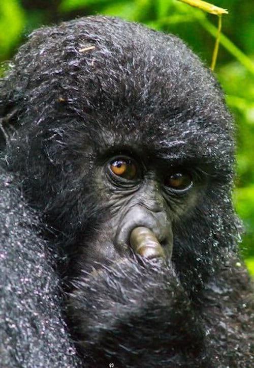 gorille-qui-se-met-doigt-dans-nez