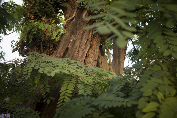 Robinier arbre 1 jpg