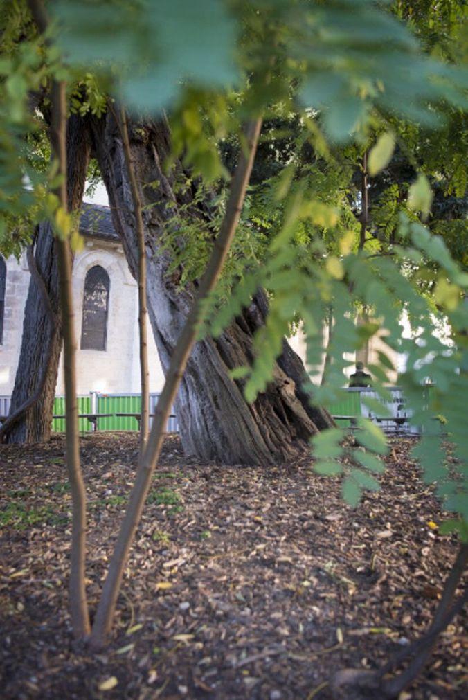 Robinier arbre jpg 3