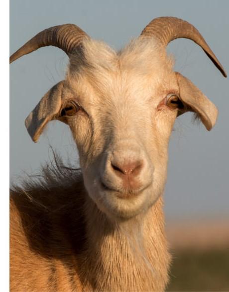 chèvre (2)